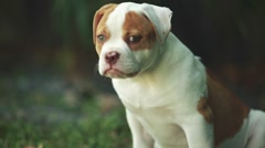 Cute puppy sitting out in the grass. American Bulldog Stock Footage