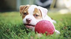 Cute puppy eating grass and playing with ball.  American Bulldog Stock Footage