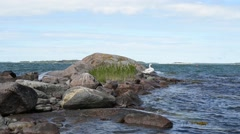 A white swan standing on the sea shore on a rock on a very windy but  sunny day - stock footage