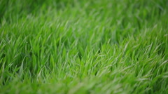 Green Wheat Sprouts Field Close up in Agricultural field Stock Footage