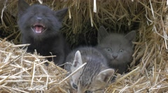 Cute kittens hidden in haystack meowing and playing 4K 2160p UHD footage  Stock Footage