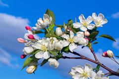 Flowering Crab Apple Blossom - stock photo
