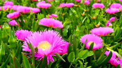 Carpobrotus edulis or  Hottentot-fig (4K) - stock footage