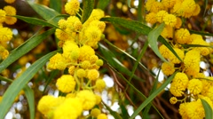 Stock Video Footage of Acacia dealbata, also called silver wattle, blue wattle or mimosa (4K)