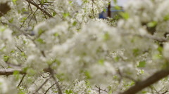 Racking focus on a macro view of plum tree blossoms with insects flying aroun 4K Stock Footage