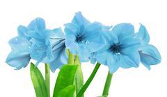 amaryllis on white background - stock photo