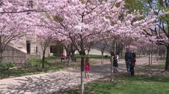 Cherry blossoms or sakura in full bloom at University of Toronto on a sunny day Stock Footage