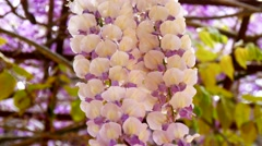 Wisteria Sinensis (4K) Stock Footage