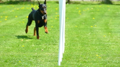 Doberman Pinscher Running Weave Poles, Agility, Slow Motion Stock Footage