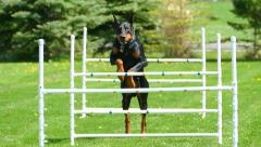 Graceful Doberman Dog Jumping Agility Hurdles in Slow Motion - stock footage