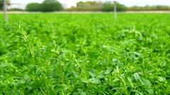 Medicago sativa field, alfalfa (4K) Stock Footage