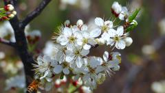 Honey Bees Collect Pollen, Nectar from Plum Blossoms: Slow Motion Stock Footage