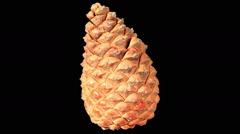 Disclosure of pine cones ALPHA matte, (Pinus L.), Full HD. Stock Footage