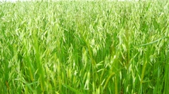 Unripe Oat field, green (4K) - stock footage