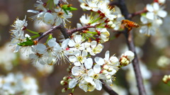 Honey Bees Collect Nectar, Pollen from Plum Blossoms: Slow Motion Stock Footage