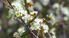 Honey Bees Collect Nectar, Pollen from Plum Blossoms; Spring, Flowers Stock Footage