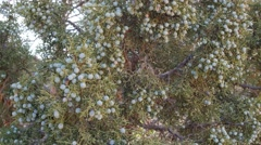 Juniper tree with berries in the desert Stock Footage