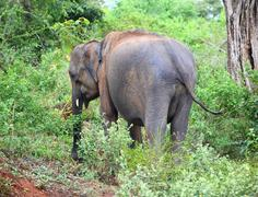 indian elephant in jungle - stock photo