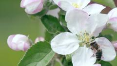 Bee on flower collects honey - stock footage