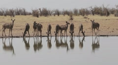Herd of Kudu drinking from waterhole Stock Footage