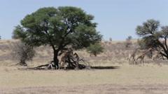 Majestic Giraffa in national park kgalagadi Stock Footage