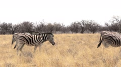 Zebras in african bush Stock Footage