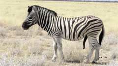Zebras male ready for mating in african bush Stock Footage