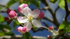 Apple blossom CU Stock Footage