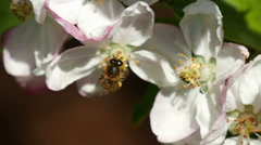 Apple blossom and bee, CU Stock Footage