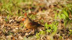 Northern Red Cardinal Stock Footage