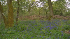 A bluebell wood in Spring time Stock Footage