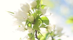 Closeup of blooming pear branch on sky background. Stock Footage