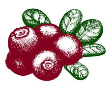 Sketch of lingonberry Stock Illustration