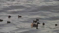 ANIMALS.BIRD - 2011: Family of ducks in the pond Stock Footage