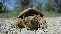 Common snapping turtle crossing a gravel road Stock Footage
