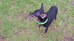Toy Terrier Slow Motion Stock Footage