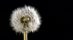 Dandelion blowing slow motion Stock Footage