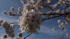P1100423-Close Up Cherry Blossom Blowing In The Wind - stock footage
