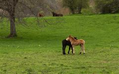 Spring landscape with young foals reclining in the foreground and the background Stock Photos
