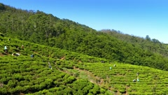 Women from Sri Lanka harvested tea leaves Stock Footage