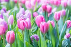 Tulip closeup Stock Photos