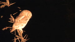 Spotlight Highlights OWL, SOUTH LUANGWA NATIONAL PARK, ZAMBIA - CIRCA MAY, 2009 Stock Footage