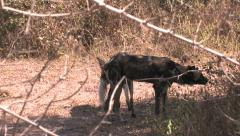WILD AFRICAN DOGS; SOUTH LUANGWA, ZAMBIA -CIRCA May, 2009 Stock Footage