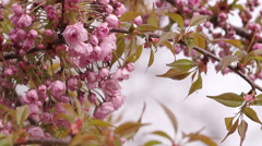 Sakura Blossoms on a Spring Morning Stock Footage