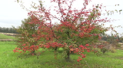 Decorative Japanese apple tree with fruits in botanical garden. Stock Footage