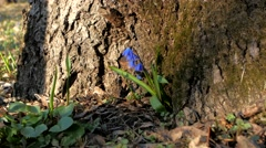 Blue snowdrops in the forest  under a tree Stock Footage