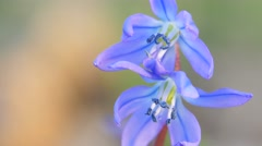 Blue snowdrop blossoming at the beginning of spring. Macro Stock Footage