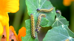Close shot of Caterpillar eating leaves. Stock Footage