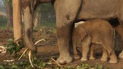 Baby and Mother Elephant Eating. Stock Footage
