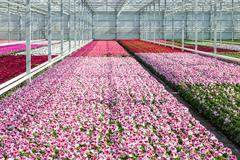 Cultivation white and purple geraniums in a Dutch Greenhouse Stock Photos